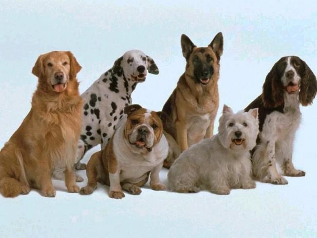 Cómo instalar el propio criadero de perros: Primer paso elección de la raza y ejemplares