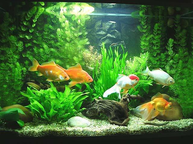 C mo instalar un acuario de agua fr a para principiantes for Plantas para estanques de agua fria