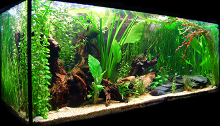 C mo instalar exitosamente un acuario tropical for Peces agua dulce tropicales para acuario
