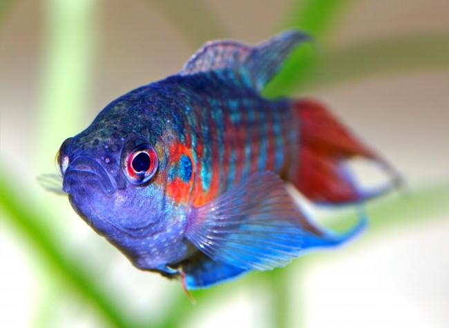 C mo instalar peces en acuario de agua fr a for Peces de agua fria carassius