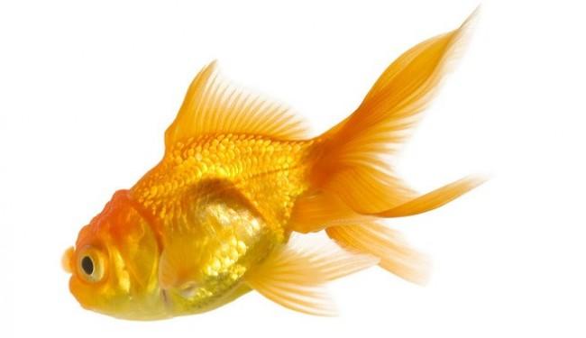 C mo instalar un criadero de gold fish o pez dorado for Criadero de peces de colores