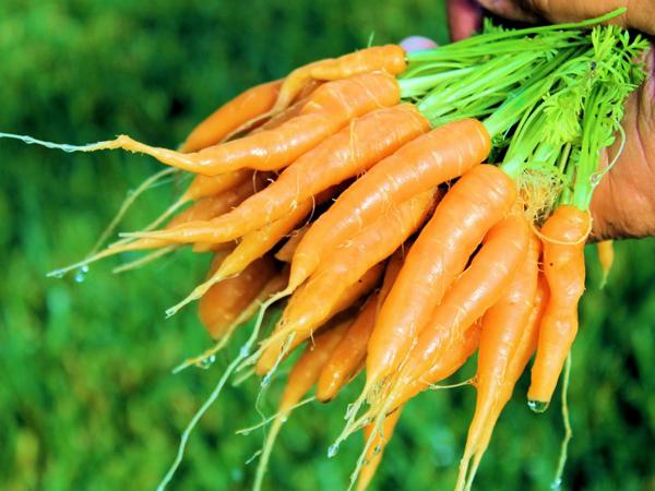 Como instalar una huerta de zanahorias