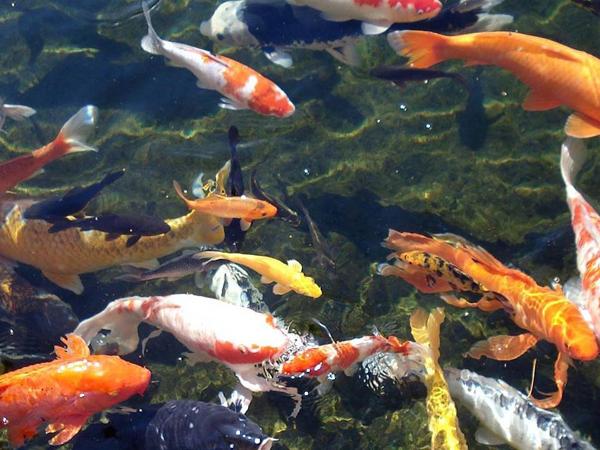 Como instalar un criadero de peces en un estanque for Criaderos de pescados colombia