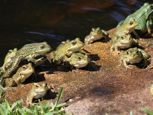 C mo instalar un criadero de ranas comestibles ranas toro for Criar mojarras en casa