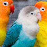 Como instalar un criadero de aves Agapornis