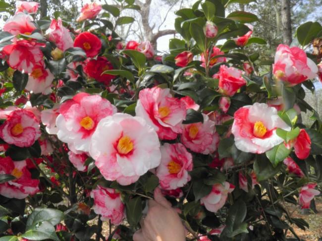 Como sembrar flores Camelias en tu jardin