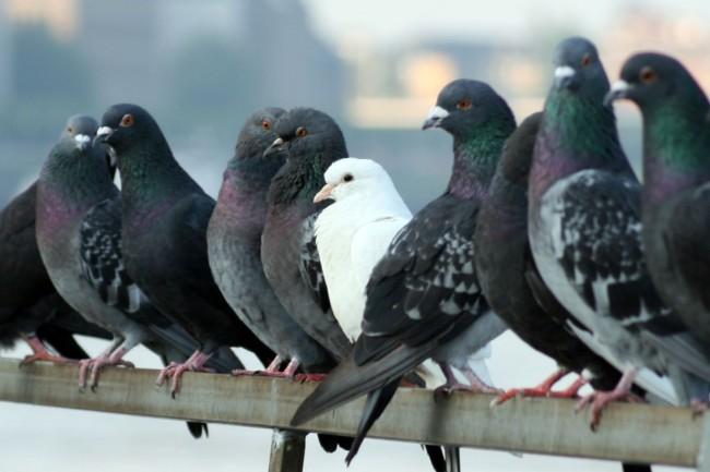 Cómo instalar un criadero de palomas
