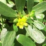 Como sembrar Verdolaga en tu jardín
