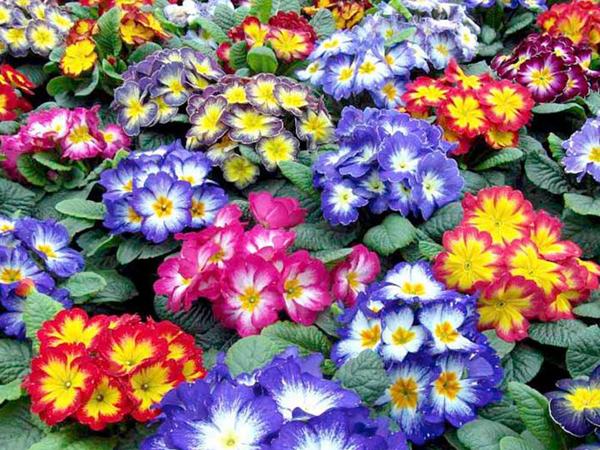 Como sembrar prímulas en tu casa para decorar tu jardín