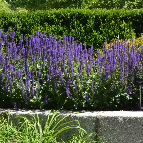 Como sembrar salvia en tu jardín