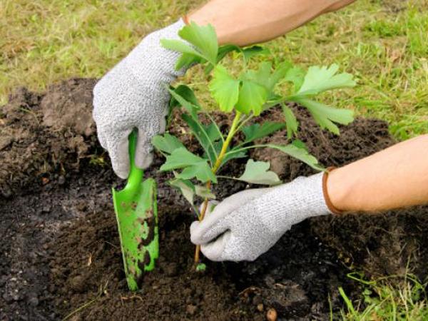 Cómo trasplantar árboles y arbustos sin la ayuda de un profesional