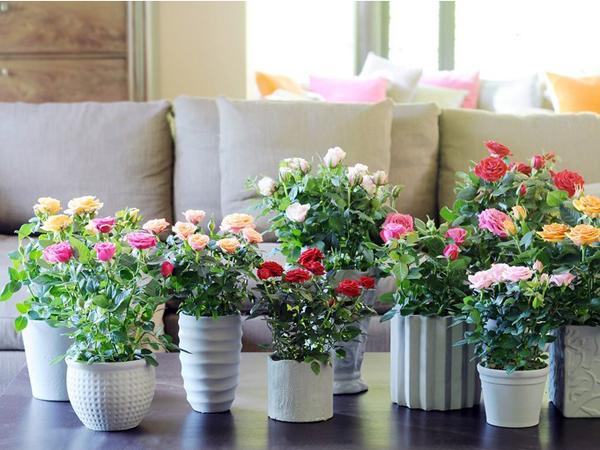 como plantar rosas en tu jardín: cómo instalar rosales