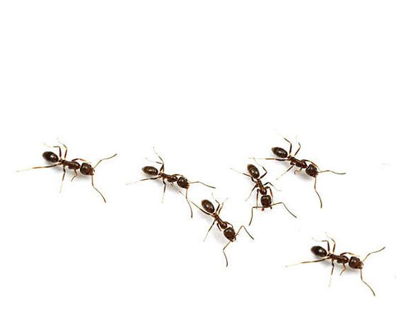 C mo deshacerse de las hormigas - Como terminar con las hormigas en casa ...