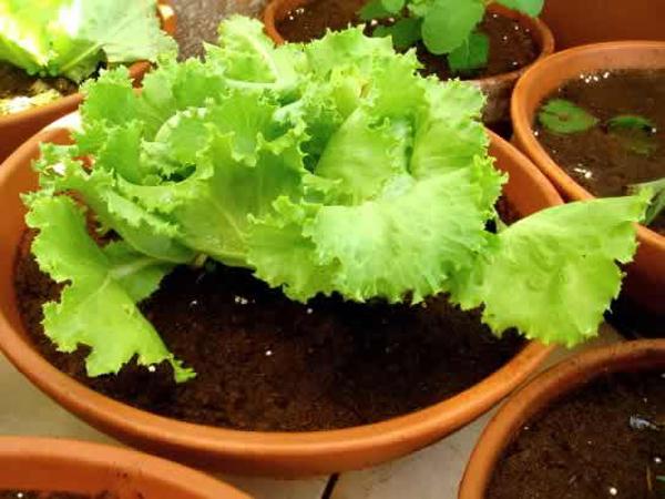 Como cultivar lechuga en macetas for Como sembrar semillas en macetas