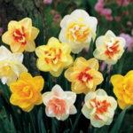 Como sembrar Narcisos en tu jardín
