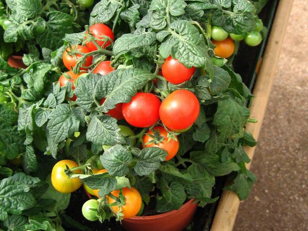 Como plantar tomates en una maceta - Tomates cherry en maceta ...