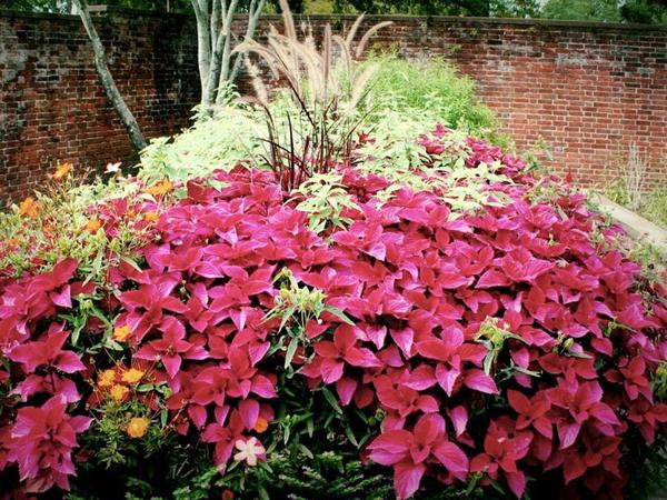 como sembrar coleos en tu jardín