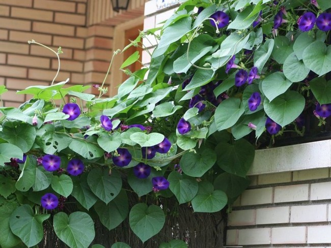 Como cuidar plantas enredaderas instalar enredaderas for Planta perenne en maceta de invierno