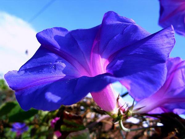 Como hacer que las flores gloria de la mañana crezcan perfectas
