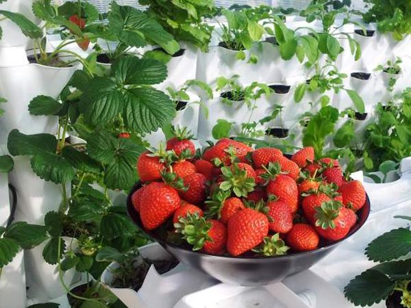 Como cultivar frutillas en tu propia huerta