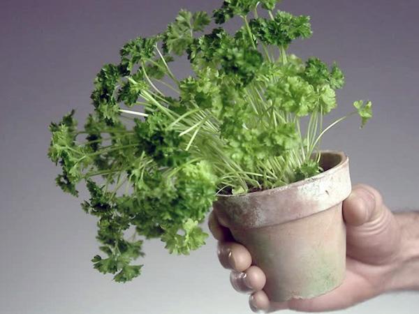 como cultivar menta en tu casa