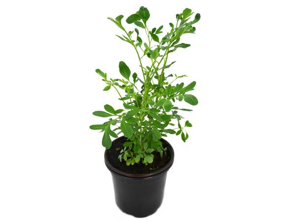 Como sembrar ruda en tu jardín