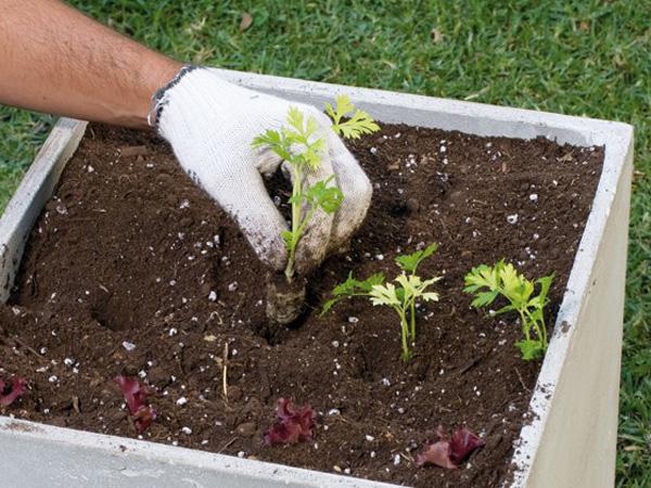 Como instalar una huerta de perejil consejos para plantar for Como sembrar semillas en macetas