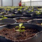 Cómo sembrar semillas de plantas, flores o verduras en macetas