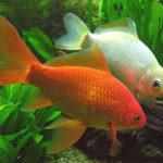Cómo instalar peces en acuario de agua fría