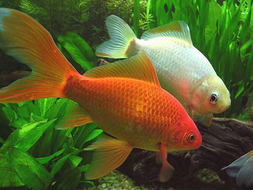 pezGoldfish_Cometa_4c373985d3e77