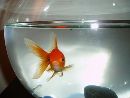 C mo instalar peces en acuario de agua fr a for Peces para peceras pequenas agua fria