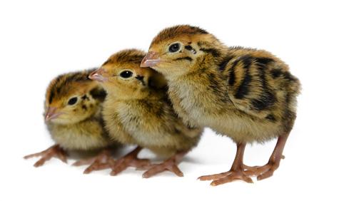 codornices-japonesas,-polluelos-de-codorniz