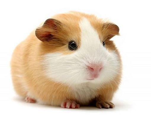 hamsterlas-10-mejores-mascotas-para8
