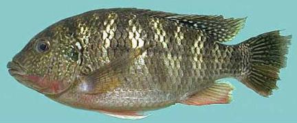 C mo instalar un criadero de mojarras tilapia for Como hacer un criadero de peces