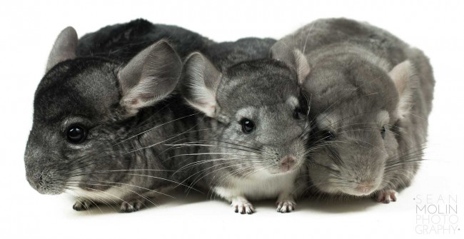 zChinchillas-Photo-by-Sean-Molin-Photography
