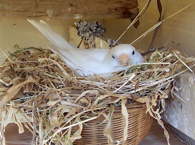 Canary_nesting