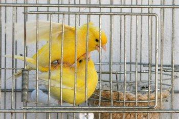 canariosapareamiento-e-incubacion-de-canarios