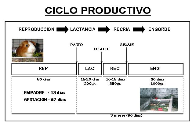 cuyes-ciclo