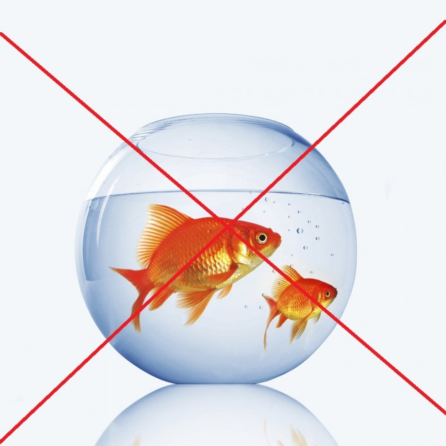 goldfish-pecera