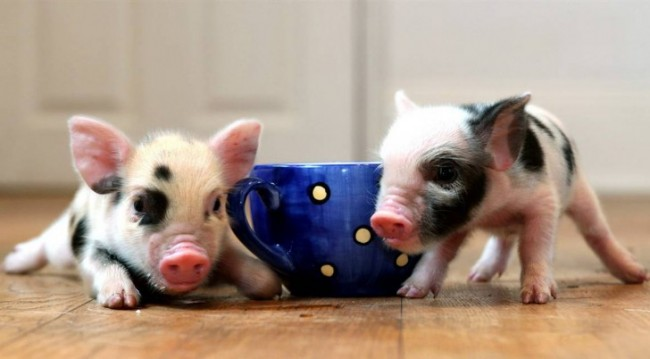 pig-mug-728x402