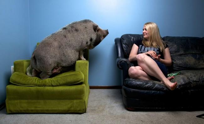 pig-pets-1_84231_990x742
