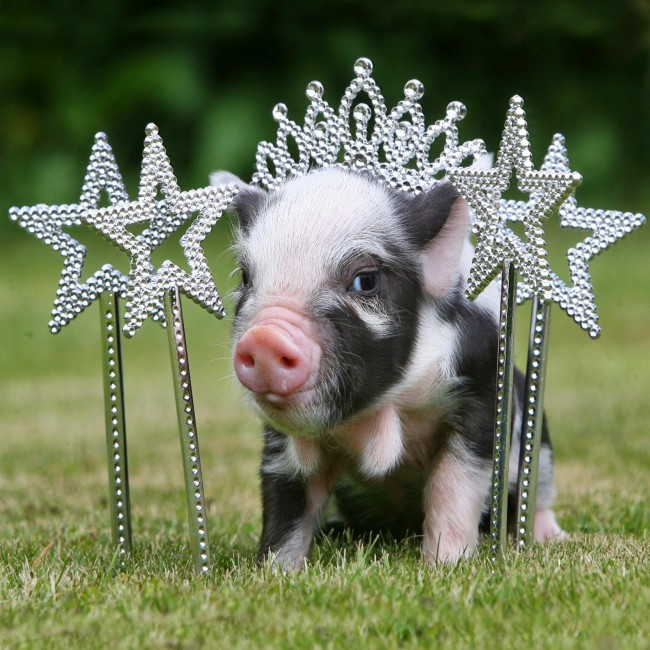 pigs120