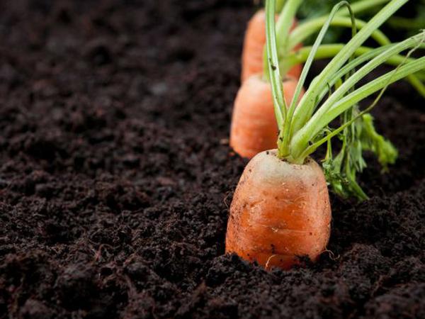ZanahoriaCultivada