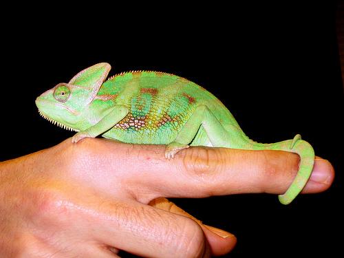 camaleon-con-su-dueño