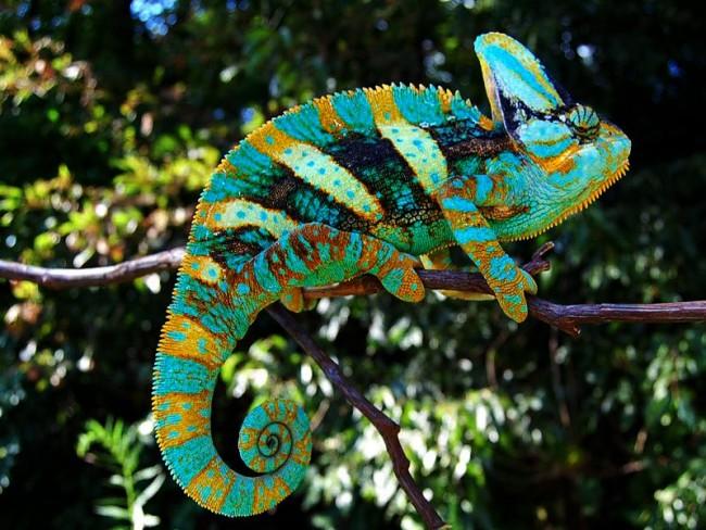 camaleones-como-mascotas-artistas-del-camuflaje