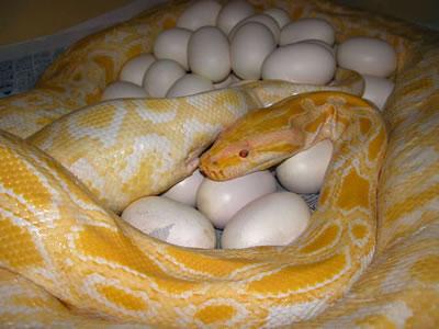 serpientesphyton_bivittatus_eggs