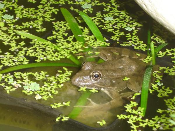 Como instalar un criadero de ranas en un estanque de su casa - Plantas para estanques de jardin ...