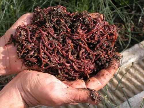 lombrices-rojas-californianas-200-unidades-1240-MLC4501408342_062013-O