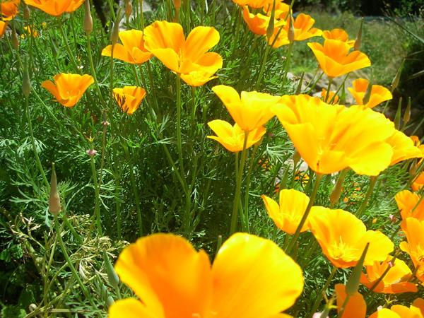 Como cultivar amapolas en tu jard n for Amapola jardin de infantes palermo