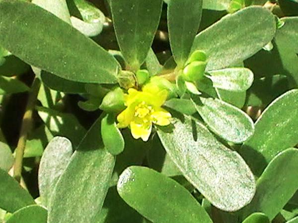 FloresVerdolaga